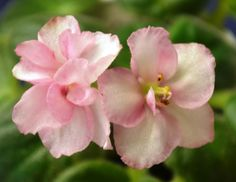 Ness Sheer Peach:  A Semi miniature variety. The leaves are plain in shape and medium green in color. The flowers are peach-pink in color and pansy in shape. The flowers are semidouble to double in...