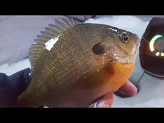 Spring Crappie & Bluegill Fishing - Awesome Weekend in MN! 4/24/16 - YouTube