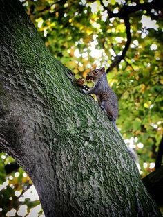 Grey Squirrel foraging for food