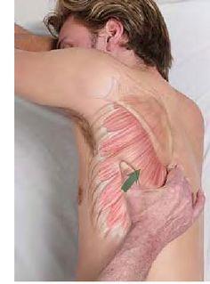 Basic Clinical Massage Therapy - Serratus