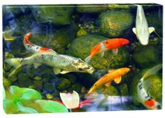 koi fish canvas prints