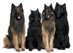 Belgian Shepherd Dog - Google Search