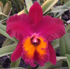 Exotic Flowers, Beautiful Flowers, Purple Flowers, Flowers Australia, Red Orchids, Cattleya Orchid, Orchid Plants, Rare Plants, Belleza Natural