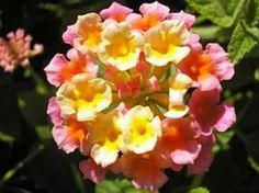 Arbusto florífero de efeito muito ornamental, o cambará é excelente para a formação de maciços e bordaduras. Suas folhas são muito pilosas e os seus ramos flexíveis podem ser eretos ou sem...