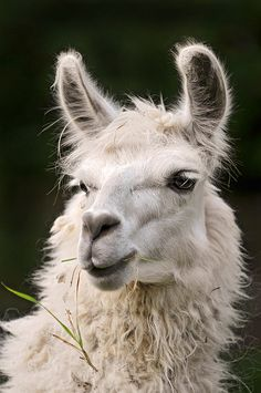 """The llama was the lifeline of the Inca Indians of South America. Called their """"silent brother"""" by the Incas, the llama was worshipped and highly regarded. The llama was their beast of burden, the source of clothing and a source of food as well as fuel. Nature Animals, Farm Animals, Animals And Pets, Funny Animals, Cute Animals, Alpacas, Funny Llama, Cute Llama, Llama Llama"""