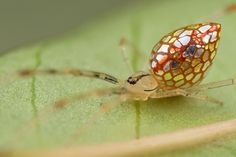 The Australian stained-glass mirror spider.
