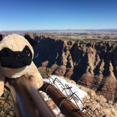 Mr. Pug visited the Grand Canyon for the first time today!  ——————————————  #mrpug #grandcanyon #arizona #travel #pugs #america #usa #roadtrip