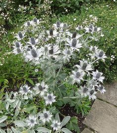 Miss Willmotts Ghost (Eryngium giganteum) Container or gravel - self seeds, biennial -- Jeni says this might get bedraggled in our climate White Flowers, Red Roses, Beautiful Flowers, Bloom Where You Are Planted, Moon Garden, Herbaceous Perennials, Garden Plants, Flowering Plants, Garden Borders