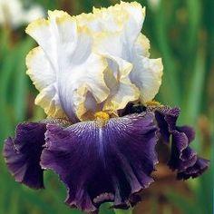 #iris #germanica learn how 2 #grow http://www.growplants.org/growing/iris-germanica