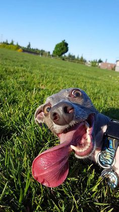 TOP 5 WAYS TO CALM HYPER DOG. how to help your dog be more relaxed. hyper dog tips. Funny Animal Jokes, Funny Animal Pictures, Cute Funny Animals, Animal Memes, Cute Baby Animals, Dog Pictures, Funny Dogs, Funny Dog Faces, Funny Dog Photos