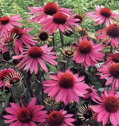 Echinacea (Echinacea purpurea, E.pallida) Parts used: All parts Benefits and uses: Echinacea is native to North America and its use was gleaned from native healers. Healing Herbs, Medicinal Herbs, Herb Seeds, Herbal Medicine, Herbal Remedies, Natural Remedies, Garden Plants, Garden Seeds, Perennials