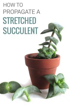 How to fix stretched succulents by propagating them. | Read more at modandmint.com | #succulents #propagating #plantpropagation #indoorplants #houseplants #plants #indoorgardening #windowsillgardening #succulentcare