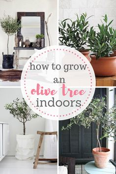 The easy way to growing an olive tree indoors! It is possible! Check out my indoor gardening article! Easy gardening is the best!