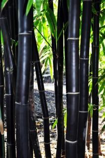 50 Timor Black Bamboo Seeds Privacy Plant Garden Clumping Exotic Shade Screen Container Hardy Deck F Bamboo Seeds, Bamboo Plants, Outdoor Plants, Bamboo Wall, Bamboo Tree, Outdoor Gardens, Phyllostachys Nigra, Bamboo For Sale, Bamboo Species