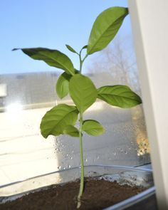 A day in the life of a Lemon tree from seed.