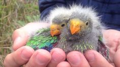 The Australian Government has listed the iconic Tasmanian swift parrot as critically endangered, lifting its status from endangered. The reclassification comes after researchers found the swift parrot could be extinct in as little as 16 years. Science Gifts, Australian Birds, Extinct Animals, All Birds, Bird Toys, Colorful Birds, Endangered Species, Creature Design, Swift