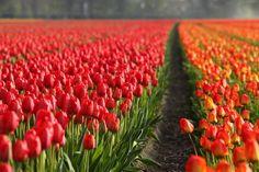 Tulipanes!