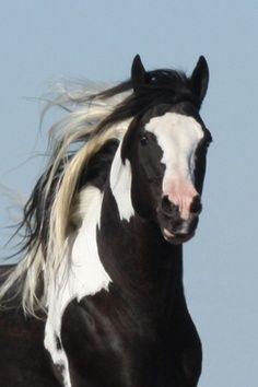 beauti hors, anim, poni, native americans, black white, paint horses, american paint, paints, fancythemustang photo