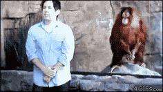 Orangutan Copies Man. Monkey see, monkey do.. zoos, Monkeys, gif, copy, orangutan, apes