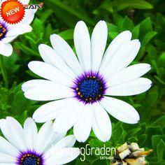 Big Sale! Branco Osteospermum Sementes Em Vasos de Plantas com flores Da Margarida Azul Sementes de Flores para Casa de Jardim, 50 Pçs/saco, # 80B6ZM(China (Mainland))