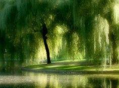 weeping willow by sherryaromero