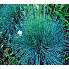 100pcs mixed color Fescue Grass Seeds - (Festuca glauca) perennial hardy ornamental grass easy to grow grass for garden