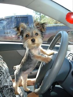 Shaved Yorkie puppy taking control of the drive home!