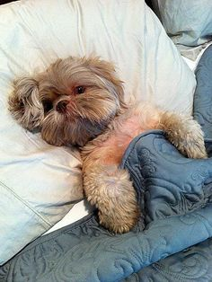 Shih Tzu in bed ... can I climb in there with you??? Oh my goodness, he looks like a little teddy bear.
