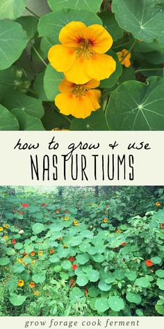 Nasturtiums are a plant that every gardener should consider growing. Besides their beauty, nasturtiums are also edible, medicinal, and are great for companion planting in your garden. Learn everything you need to know about how to grow nasturtiums, and ho Organic Vegetables, Growing Vegetables, Organic Nutrients, Growing Herbs, Pot Plante, Organic Gardening Tips, Vegetable Gardening, Flower Gardening, Balcony Gardening