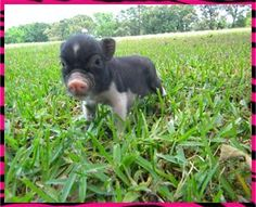 Aww Teacup Pigs - Juliana | http://my-cute-baby-animals-gallery.blogspot.com