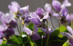 Viola odorata 'Hans-guck-in-die-Luft' - Duft-Veilchen