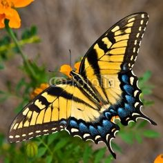 Tiger Swallowtail Butterfly from Tom Hirtreiter, Royalty-free stock ...