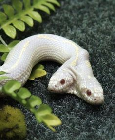 Two-headed albino snake -  tweekoppige albino slang
