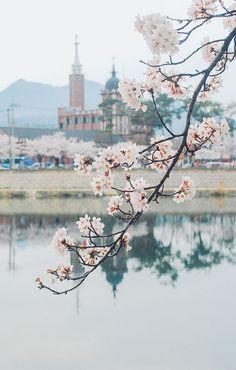 Cerejeira na Coréia do Sul