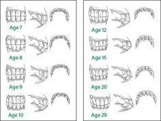 Horse teeth age diagram 11638 movieweb horse teeth age diagram ccuart Gallery