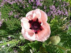"""Hirt's Gardens Little Dancing Girl Oriental Poppy - Papaver- Sun/Part Shade - 4"""" Pot"""