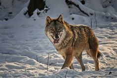 Cute wolf *-*