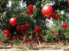 Pommegranat orchard