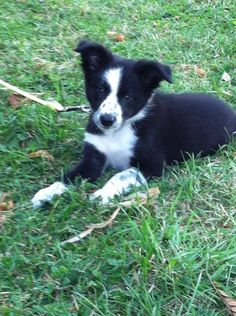 My border collie puppy is the cutest!