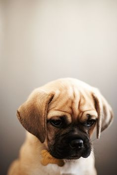 Puggles ♡ I had one of these a few years ago. Literally the best and cutest dog ever