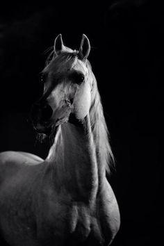 . Beautiful Arabian Horses, Arabian Beauty, Horse Pictures, Horse Breeds, Thoroughbred, Horse Art, Zebras, Beautiful Creatures, Beautiful Images