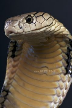 King cobra / Ophiophagus hannah | Flickr