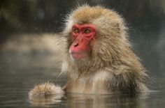 Wondering by Harry Eggens - Photo 55412242 - Japanese Macaque, Monkey Park, Monkey Business, Primates, Old World, Animals Beautiful, National Parks, Snow Monkeys, Photos