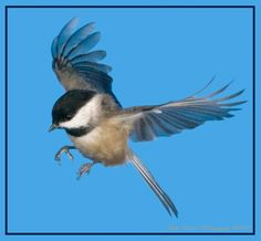 Viewing Gallery For - Chickadee In Flight Bird Pictures, Pictures To Paint, Pretty Pictures, Chickadee Tattoo, Bird Painting Acrylic, Black Capped Chickadee, Birds And The Bees, Colorful Birds, Nature Animals