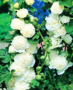 Malwa biała - White - 1 szt. - Sklep Świat Kwiatów | Dostawa gratis!