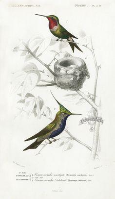 D'Orbigny Travies Impresiones del pájaro 1849