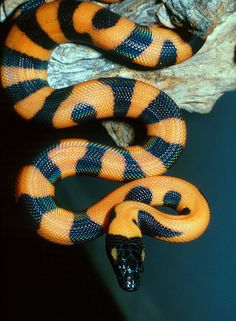 Juvenile ringed python www. Pretty Snakes, Cool Snakes, Colorful Snakes, Beautiful Snakes, Animals Beautiful, Cute Animals, Cute Reptiles, Les Reptiles, Reptiles And Amphibians