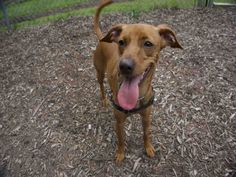 MACI is available for adoption from @CUHumane #Urbana #Champaign #IL www.cuhumane.org PINNED 9/2/15 (CHAMPAIGN COUNTY HUMANE SOCIETY) Please click on the PET HARBOR link to see full BIO. Thanks.