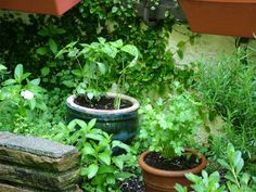 Love growing herbs.  Looking forward to having a large herb garden some day. For now pots work wonderful.