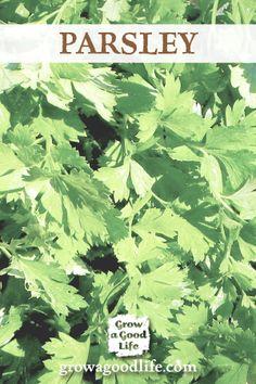Herbs Indoors: 5 Herbs that Thrive Inside Grow Herbs Indoors: Parsley via Grow a Good LifeGrow Herbs Indoors: Parsley via Grow a Good Life Indoor Garden, Indoor Plants, Outdoor Gardens, Organic Gardening, Gardening Tips, Homestead Gardens, Growing Herbs, Parsley Growing, Herbs Indoors